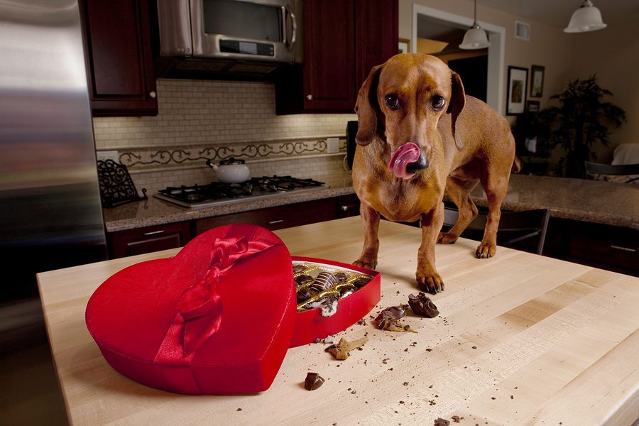 Why is Chocolate Toxic (Poisonous) to Pets | Dogs and Cats?